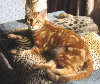 bengal cat help - Page 4 - Reptile ForumsOrange And White Bengal Cat