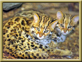 Asian leopards for sale