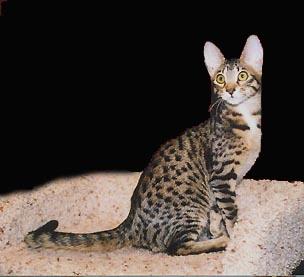 Bengal Breeders & Cattery in California Serengeti cats